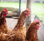 AGRIFOOD_The_Importance_Of_Quality_Poultry_Equipment_For_Raising_Healthy_Chickens