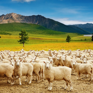 Sheep handling equipment in South Africa